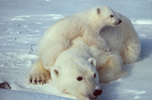 Momma and baby polar bear cub